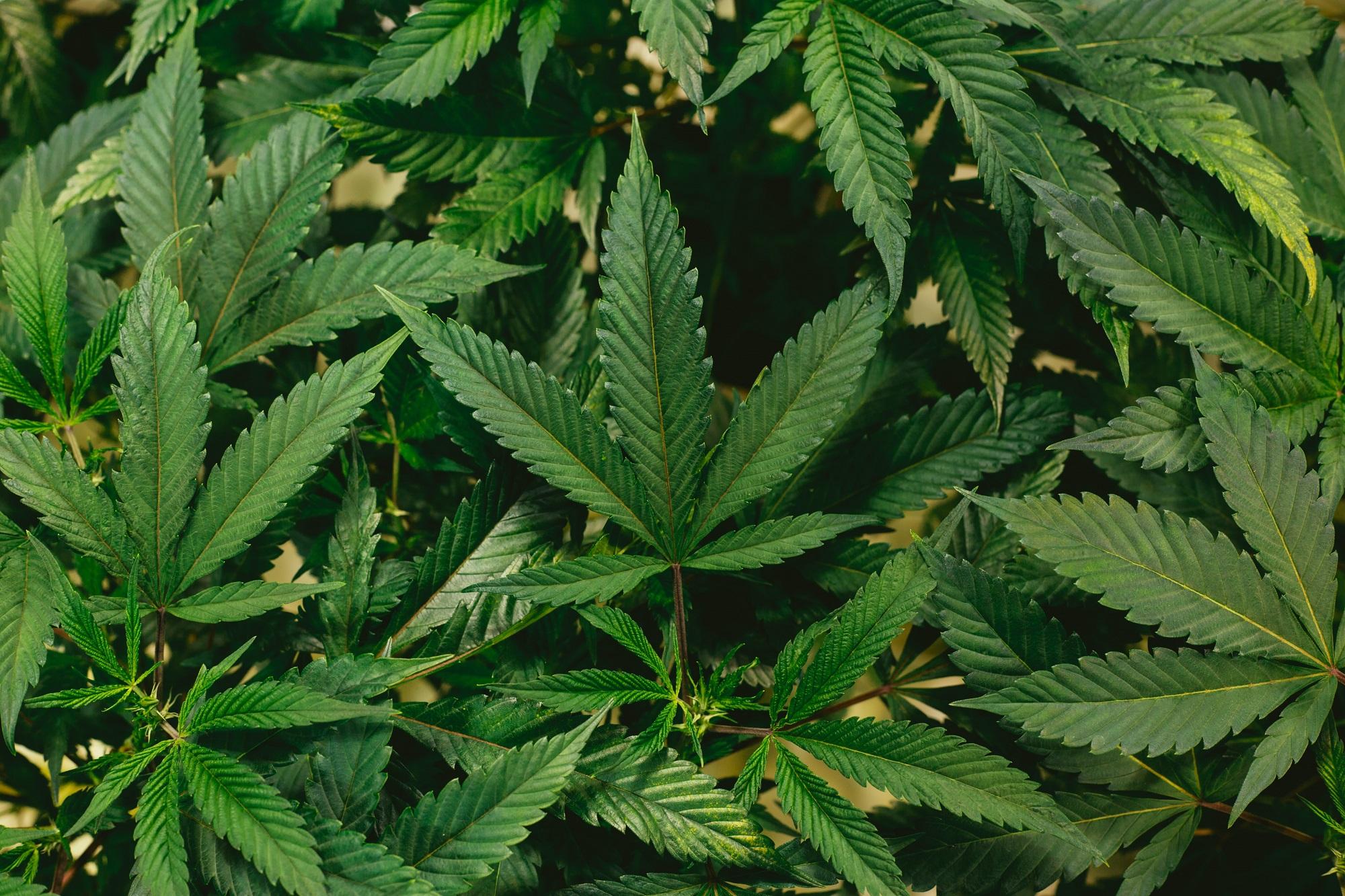 Die Vorteile von medizinischem Marihuana, die Sie kennen sollten!